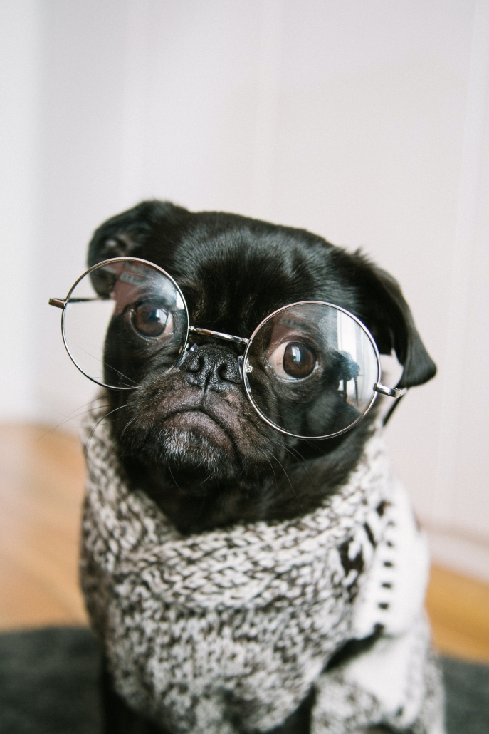 pug with glasses and jumper